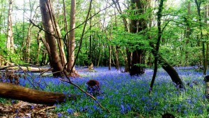 bluebells-hockley-woods