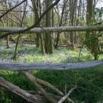 Hockley-Bluebells