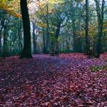 Hockley-Woods-Leaves